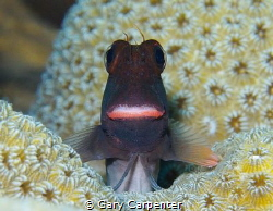 Lippy Redlip blenny (Ophioblennius atlanticus)  Picture t... by Gary Carpenter